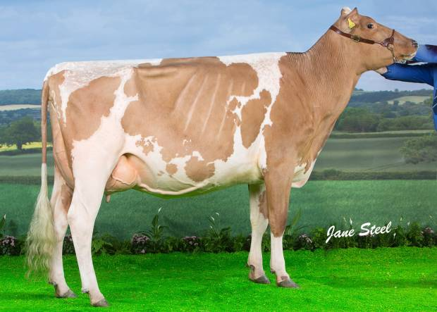 Sandyford Vitality Queenie VG86 2yo - 1st place Millking Heifer at the UK Dairy Expo