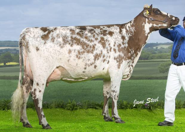 Rosehill Vitality - Pictured is one of his daughters  Millford Vital Mayflower who was 1st Placed Senior 2 year old at the National Show 2017
