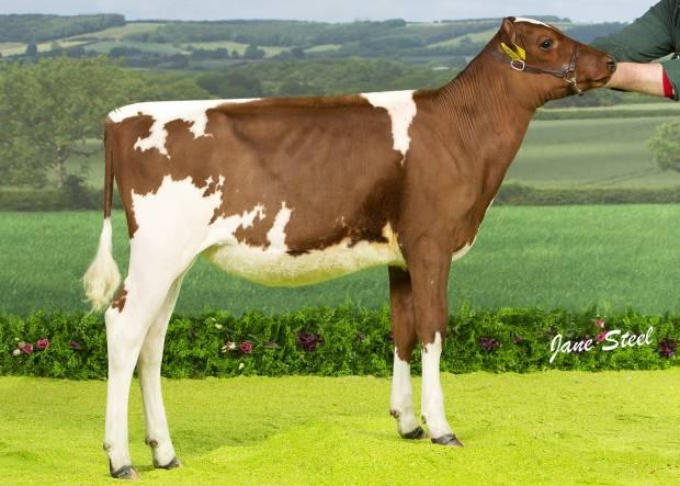 Fancy Calves