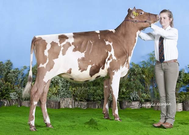 Reserve Champion Calf - Ardmore Orphan 117 (Nexus Dreamer) - J Hunter