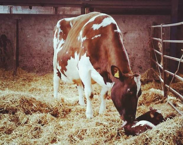 Clover 10 with her heifer calf sired by Ardmore Crown Napier