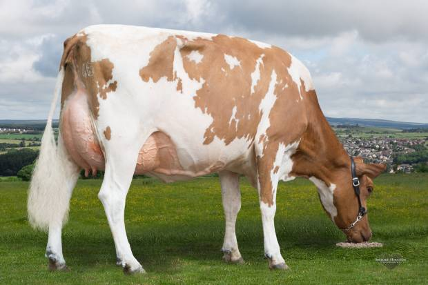 Final Herd Dispersal of Changue Ayrshires. 222 animals sell on Friday 27th July at Borderway Mart. Catalogue is out!