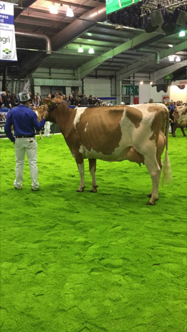 Sandyford Vitality Queenie recently fresh with her second calf. 2nd place junior Cow in milk