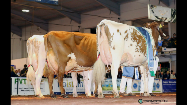 Champion Line up R to L, Grand Champion - Swaites Bright Spark 5, Reserve - Swaites Dainty 11, H Mention - Sandyford Mayflower 14