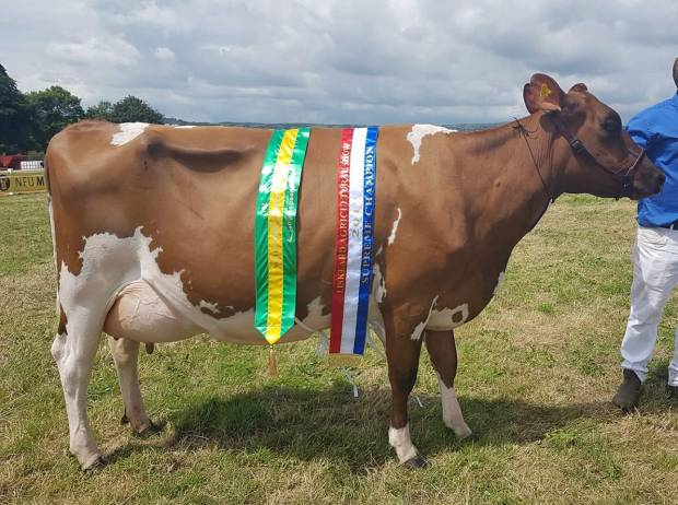 Another Interbreed Dairy Champion for the Ayrshires at Liskeard Show