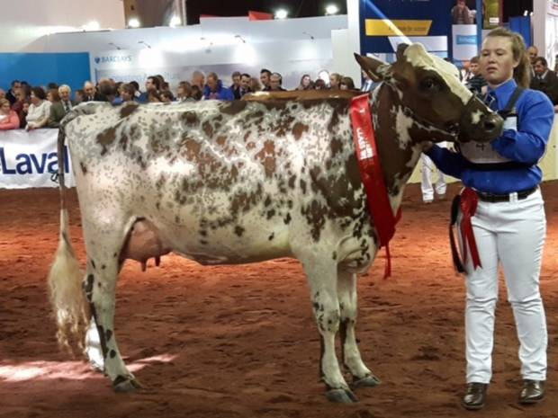 Millford Vital Mayflower - 1st place senior 2 Year Old at The National Ayrshire Show