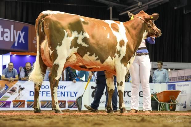 Champion Ayrshire Heifer Morwick Gwen 35