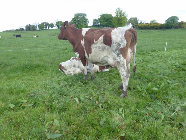 This is a daughter of Sandyford Clever Dick in the herd of Tommy & Alan Irwin's