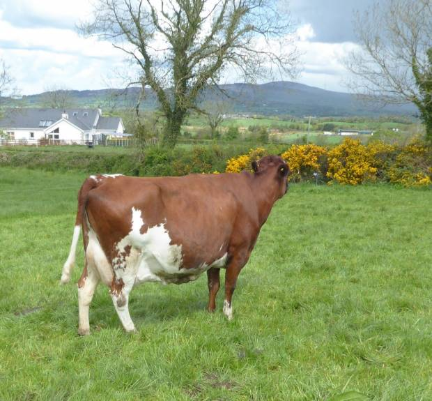 An outstanding 4th calved daughter of Covey Farms Rattler owned by Raymond King
