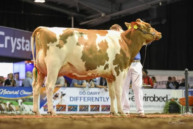Champion Ayrshire Hybrid Heifer Whiteflat Jordy Lizzie Red