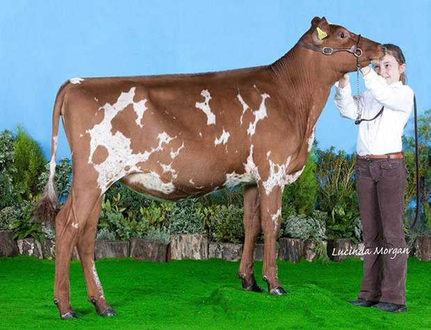 Clover Sells For 8,000 Gns At Ayrshire National Sale