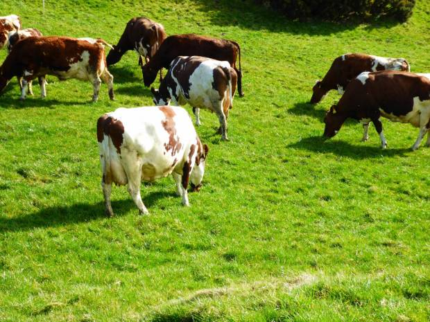 Herd of 100 Ayrshires for sale