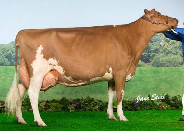 Ayrshire Champion - Loukat Lucky EX 94
