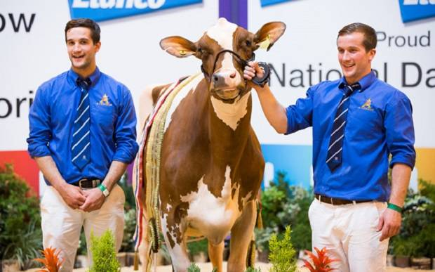 Mandella Daughter Takes Top Spot At The National Ayrshire Show