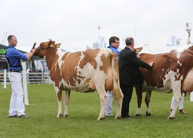 Junior Cow in-Milk Class